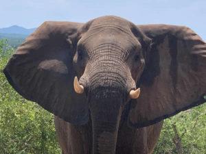 Modjadji Estate Elephant